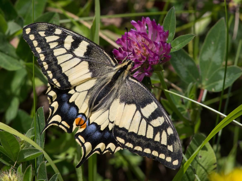 Papilio_machaon_CF9A5574.jpg